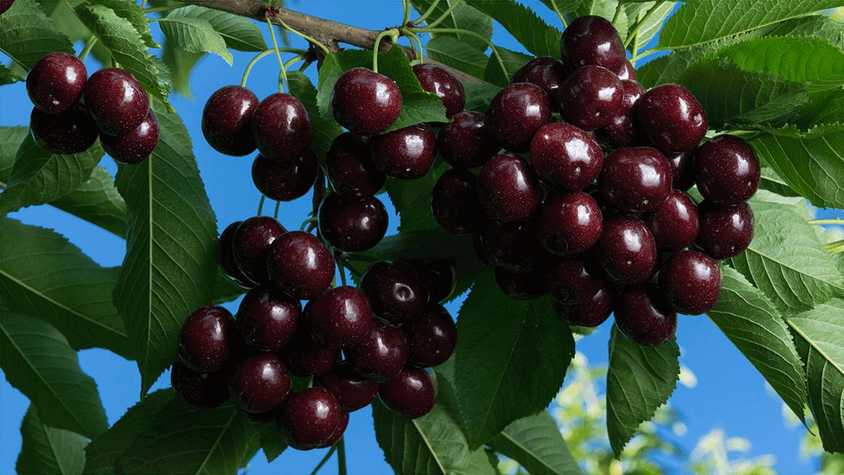F2F Cherries Header